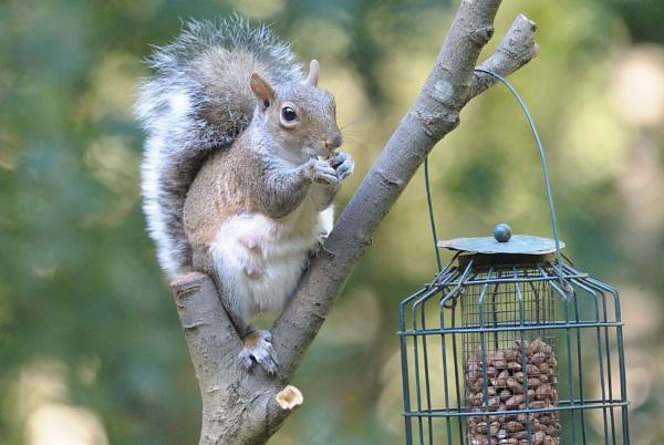 Squirrel Grey by robertsnikon