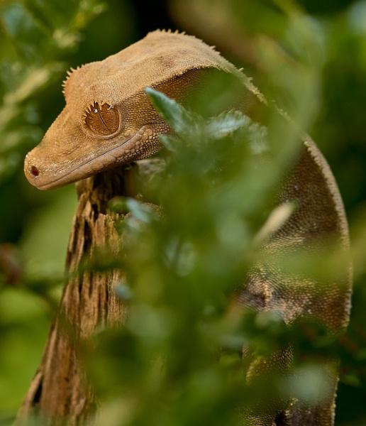 Gecko - In Captivity by JJGEE