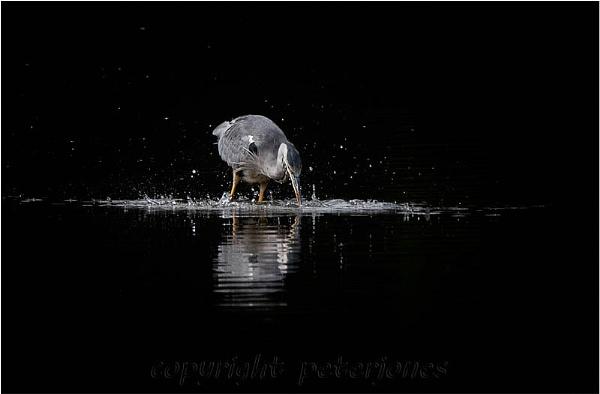 Feeding Grey Heron. by peterjones