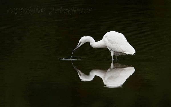 Little Egret. by peterjones