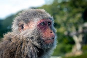 Longleat Monkey 2