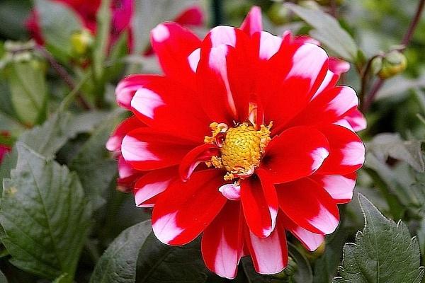 Multi-Colored Pinwheel Dahlia Flower.  Wha????  :) by Tonytee