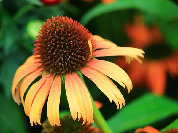Beautiful Coneflower. by Tonytee
