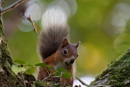 Another red Squirrel!