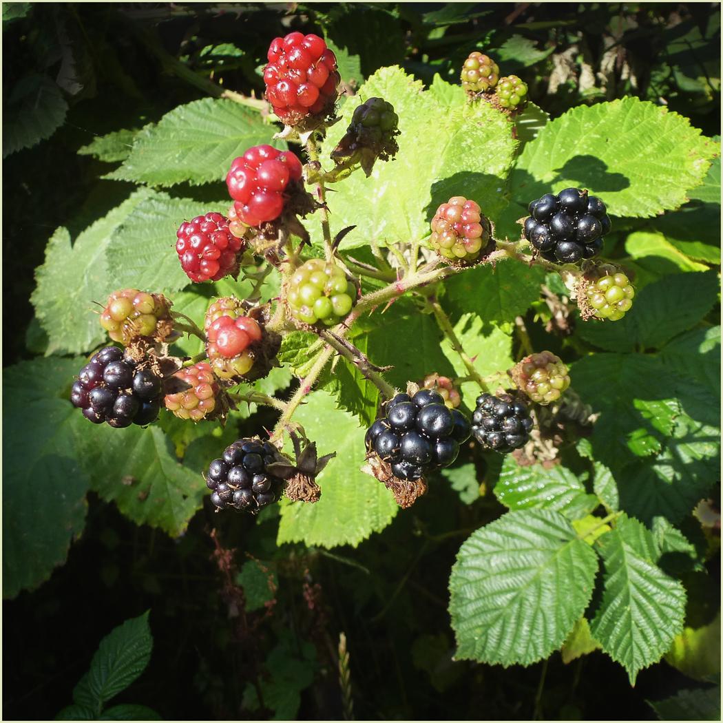 Last of the Blackberries