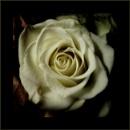 city roses (set of 4)