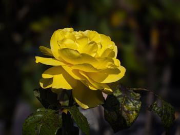 My favourite yellow Rose