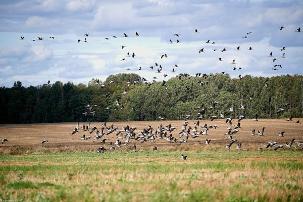 Common Crane (Grus grus) flock in flight by LotaLota