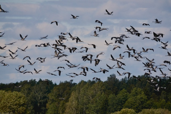 Common Cranes (Grus grus) in Sulinkiai peatland and in adjacent agricultural areas (Lithuania). by LotaLota