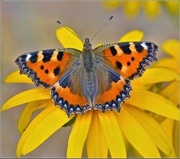 Small Tortoiseshell butterfly......