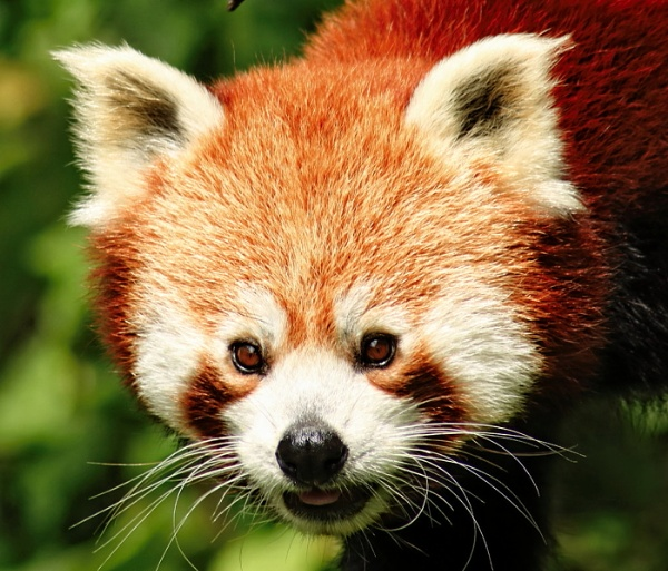 Red panda by olee11