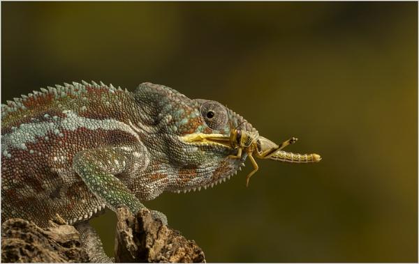 Locust Lunch by AnnetteK