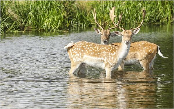 Oh Deer ... Deer by AnnetteK