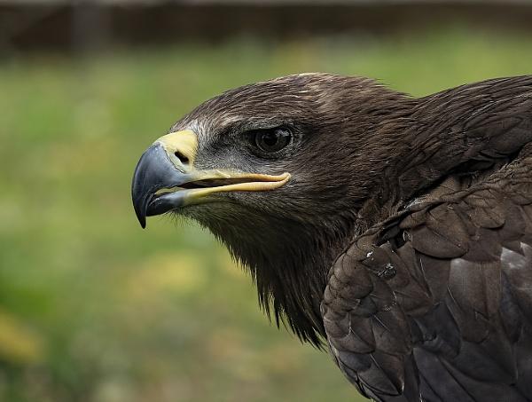 Golden eagle portrait by royd63uk