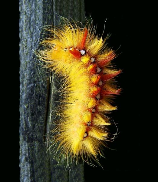 Sycamore Moth Caterpillar by pamelajean