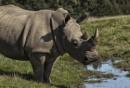 White Rhino by Buffalo_Tom