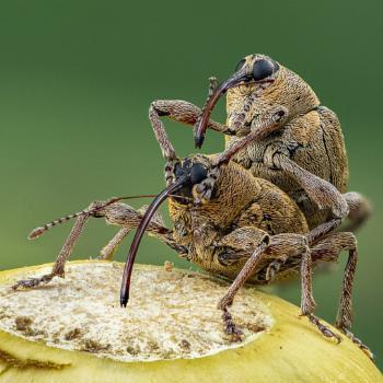 Acorn Weevils
