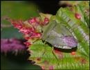 Green Shield Bug on a Bramble Leaf.