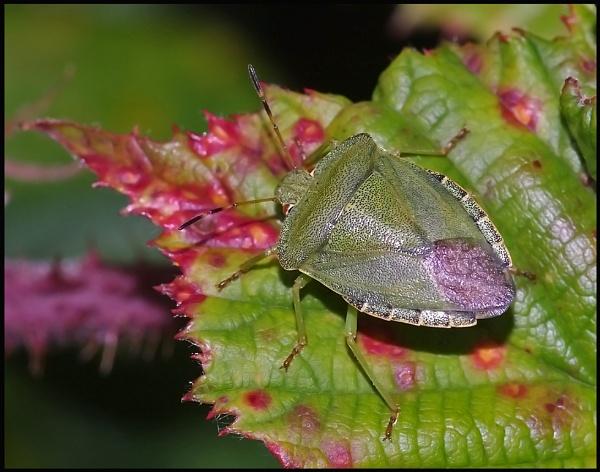 Green Shield Bug on a Bramble Leaf. by Badgerfred