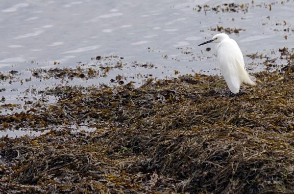 Egret by Silverzone