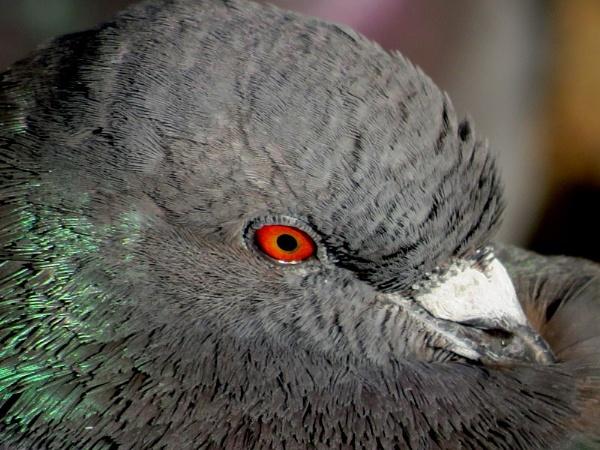 Pigeon Portrait by SUE118