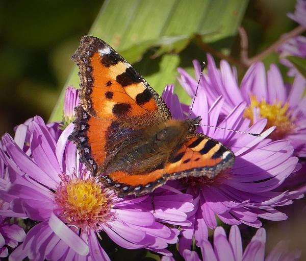 Tortoiseshell butterfly by HobbitDave