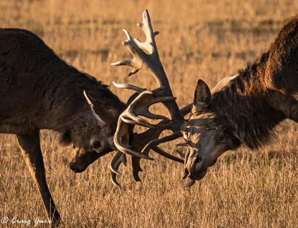 Locking Horns by Craig75