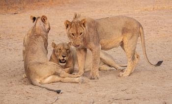 Namibian Lions