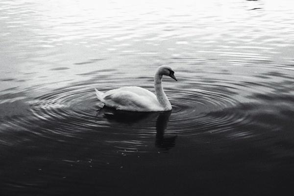 Swan by Merlin_k