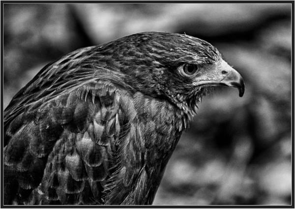 Harris Hawk by PhilT2
