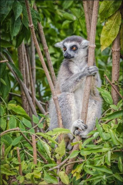 Ring Tailed Lemur by Kilmas
