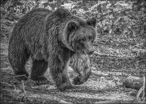 Bear B&W by Kilmas