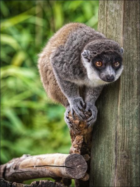 Mongoose Lemur by Kilmas
