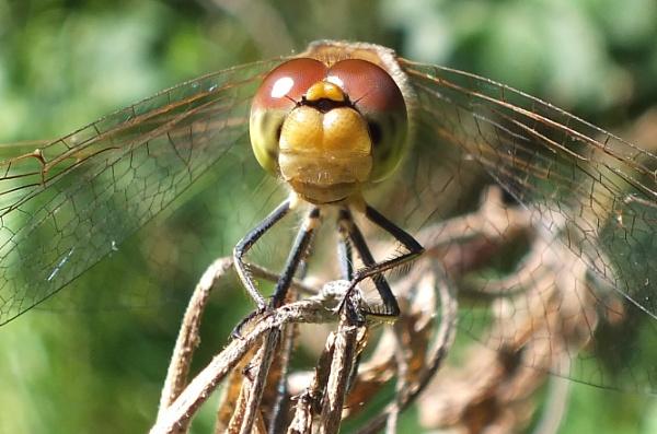 Dragonfly by Bryan_Marshall