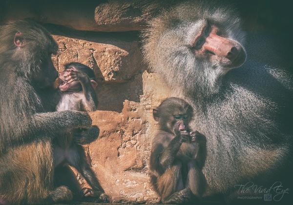 Hamadryas Baboons by MartinWait
