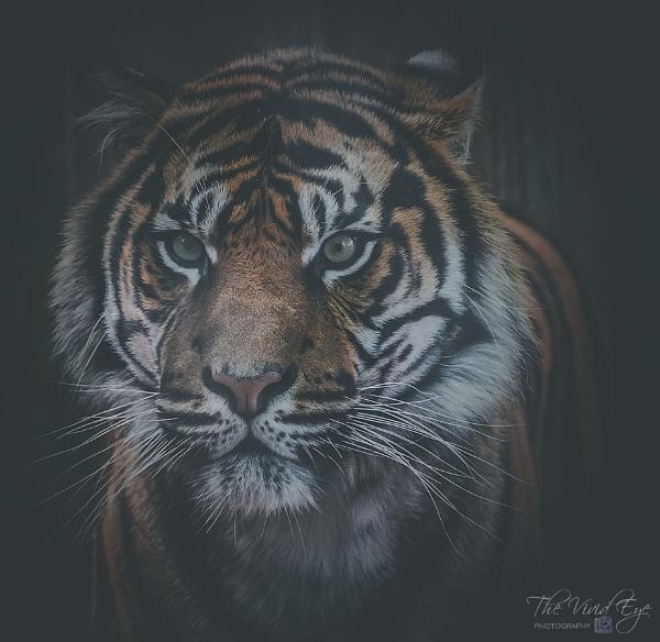 Sumatran Tiger by MartinWait