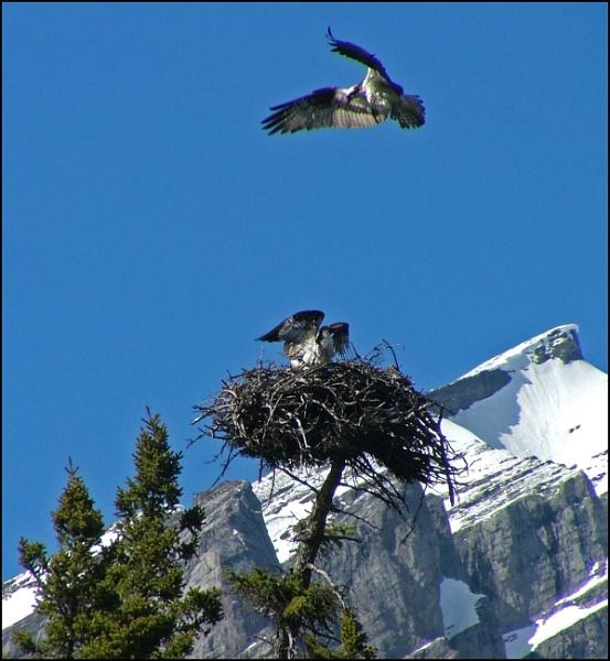 Osprey under attack by JuBarney