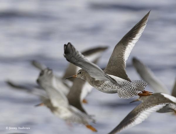 Redshank by JonnyNI