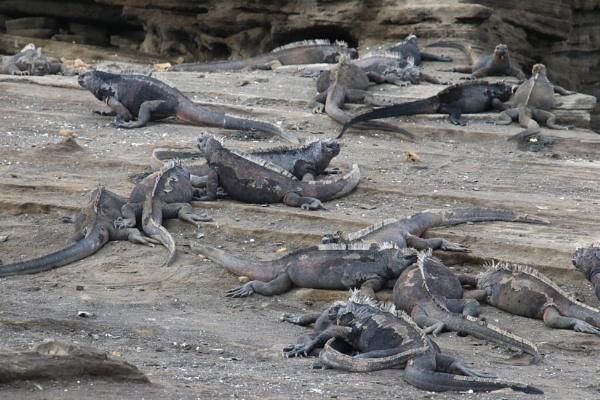 Marine Iguanas by DARATCLIFFE