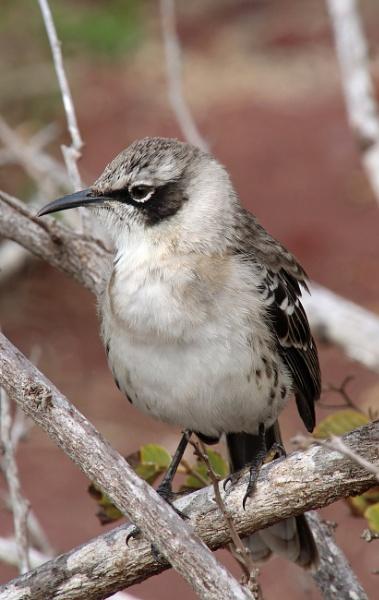 Galapagos Mockingbird by DARATCLIFFE