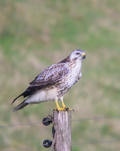 pale buzzard by brrttpaul