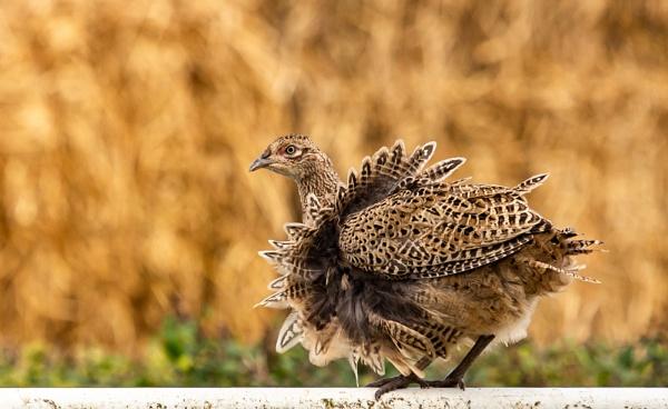 Pleasant pheasant II by geoffash26