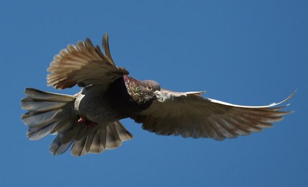 Pigeon in flight by nealie