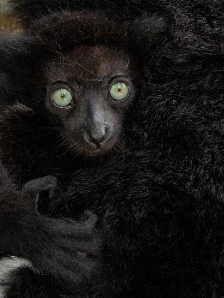 Baby Indri. Madagascar by Ged1