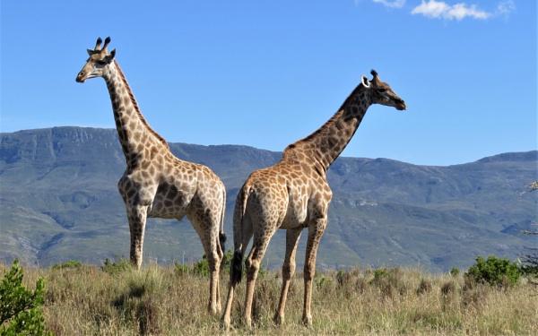 Giraffes by Hermanus