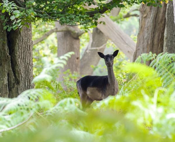 \'O\' Deer by doverpic