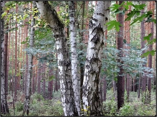 birch-trees by FabioKeiner