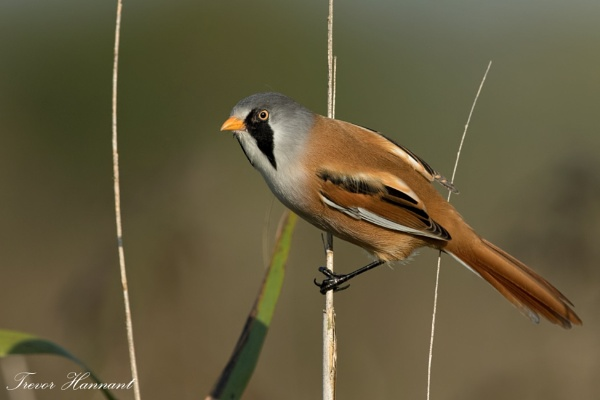 Bearded Reedling Male by trevrob