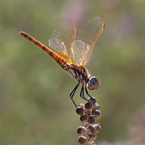 Dragonfly by mattberry