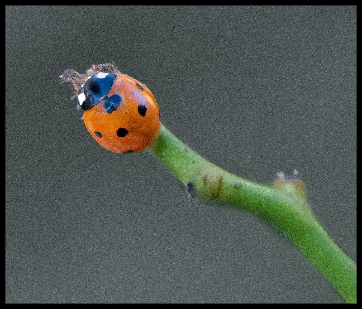 End of Line Ladybird